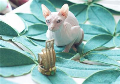 杜小玉Natilia是什么品种的猫 为什么没有毛